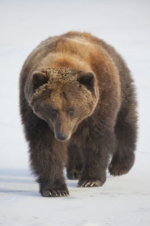 Captive: Female Brown Bear Walks Across A Frozen Pond At Alaska Wildlife Conservation