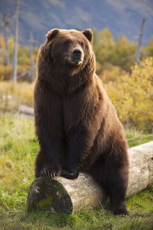 Captive: A Large Brown Bear Sits On A Log At The Alaska Wildlife Conservation Center