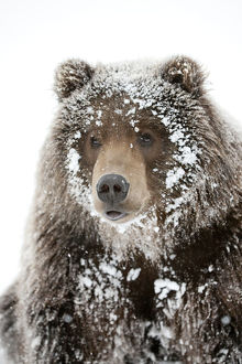 Captive: Male Brown Bear With A Frosty Face Lying On Snow, Alaska Wildlife Conservation