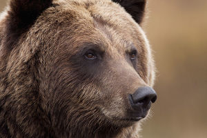 Captive: Portrait Of An Adult Grizzly Bear, Alaska Wildlife Conservation Center