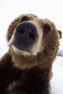 Captive: Wide Angle Close Up Of A Brown Bear At The Alaska Wildlife Conservation Center