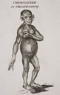 Chimpanzee Or Orang-Outang. Engraved By P. Halpin 18Th Century