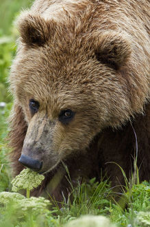 Close Up Of Brown Bear Eating Grasses In Hallo Bay, Katmai National Park, Southwest Alaska