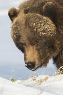 Close Up Of A Brown Bear (Ursus Arctos) In The Snow, Captive At The Alaska Wildlife