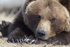 Close Up Portait Of A Sleepy Adult Brown Bear At The Alaska Wildlife Conservation