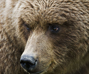 Close Up Portrait Of A Brown Bear In Hallo Bay, Katmai National Park, Southwest Alaska