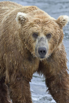 Close Up Portrait Of A Brown Bear (Ursus Arctos) Standing In Brooks River, Katmai