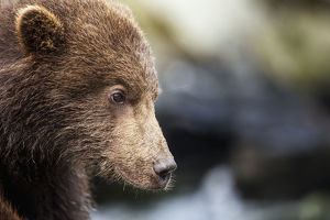 Close-Up Portrait Of Coastal Brown Bear Spring Cub (Ursus Arctos) On Rocks Along