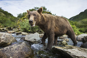Close-Up View Of Coastal Brown Bear (Ursus Arctos) Fishing For Spawning Salmon In