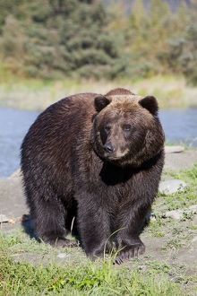 Close View Of A Brown Bear Standing At The Alaska Wildlife Conservation Center Near