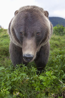 Close Up Wide-Angle View Of A Brown Bear At Alaska Wildlife Conservation Center