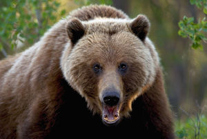 Closeup Of Brown Bear Yukon Territory Canada Spring