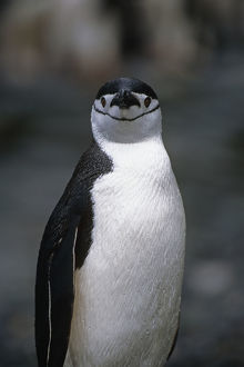 Closeup Of Chinstrap Penguin Just Out Of The Water @ South Georgia Island Antarctic