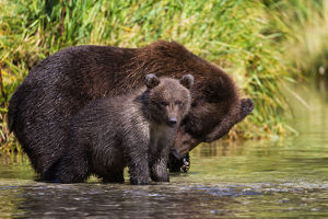 Coastal Brown Bear And Cub Fishing In A River, Katmai National Park And Preserve