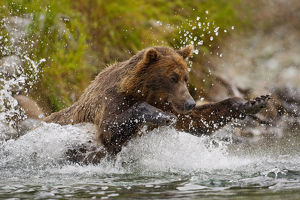 Coastal Brown Bear Sow Fishing At Kinak Bay, Katmai National Park, Alaska