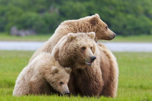 Coastal Brown Bear Sow With Her Two Spring Cubs At Hallo Bay, Katmai National Park