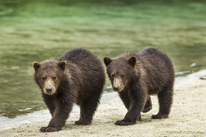 Two Coastal Brown Bear Spring Cubs (Ursus Arctos) Walking Along Salmon Stream By