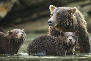 Coastal Brown Bear Spring Cubs (Ursus Arctos) And Mother In Salmon Spawning Stream
