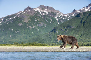 Coastal Brown Bear (Ursus Arctos) Walking Beneath Mountain Peaks Along Kukak Bay