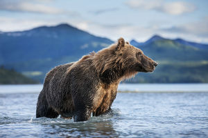 Coastal Brown Bear (Ursus Arctos) Standing In Salmon Spawning Stream By Kukak Bay