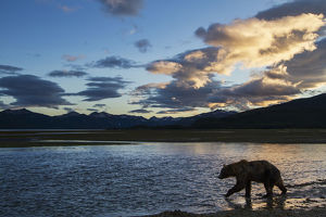 Coastal Brown Bear (Ursus Arctos) Walks Along Salmon Spawning Stream At Sunset Along