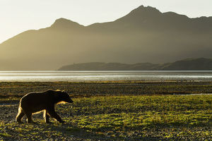 Coastal Brown Bear (Ursus Arctos) Walking Along Shoreline At Dawn Along Kukak Bay