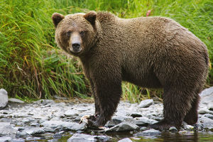 Composite, Close Up View Of An Adult Brown Bear Fishing For Salmon In The Russian River