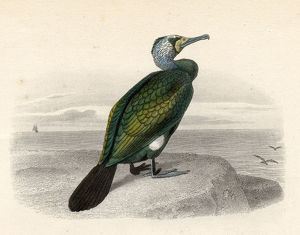 The Cormorant, Drawn By Edouard Travies, Engraved By Nargeot And Sons