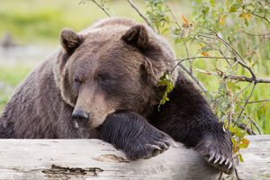 A Female Brown Bear Lays Draped Over A Log, Alaska Wildlife Conservation Center