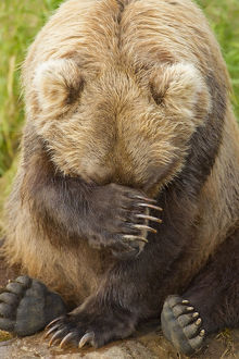 A Female Brown Bear Puts Her Paw Over Her Eyes And Rests While Sitting On The Bank
