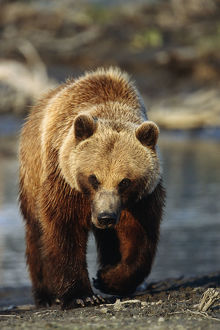 Frontal View Of Brown Bear Sc Alaska Summer Captive Big Game Alaska