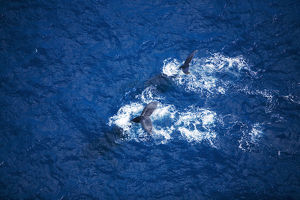 Hawaii, Maui, Humpback Whales, Aerial View