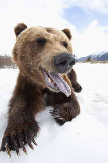 Humorous Wide-Angle Close Up Of An Open-Mouthed Adult Brown Bear Sow At The Alaska