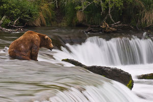 A Large Brown Bear Patiently Sits At Brooks Falls For A Salmon To Jump Over The Falls