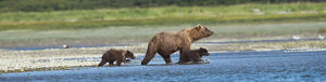 Panoramic Of Brown Bear Sow And Cubs On The Shore Of Mikfik Creek, Mcneil River State