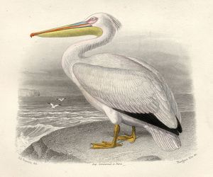 The Pelican, Drawn By Edouard Travies, Engraved By Nargeot And Sons