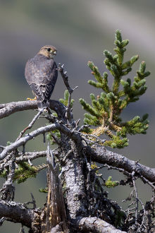 Pigeon Hawk (Merlin) Sits On A Tree Branch In The Turnagain Pass Area, Kenai Peninsula