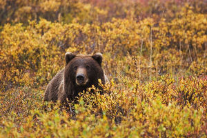 Portrait Of An Adult Brown Bear Amongst The Fall Foliage In Denali National Park