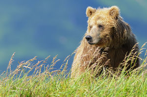 Portrait Of A Brown Bear (Portrait), Katmai National Park; Alaska, United States