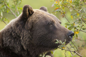 Profile Of An Adult Brown Bear Sow Amongst Green Brush At Alaska Wildlife Conservation
