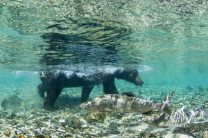 Underwater View Of Coastal Brown Bear (Ursus Arctos) Wading In Salmon Spawning Stream