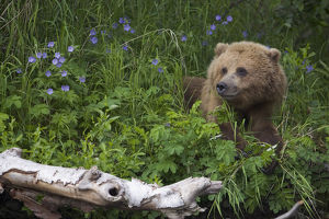 View Of Brown Bear Resting In A Patch Of Wild Geraniums, Russian River, Kenai Peninsula