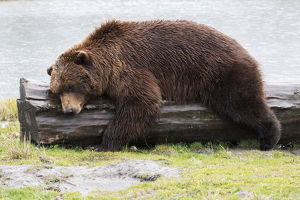 A Wet Brown Bear (Ursus Arctos) Laying On A Log At The Water's Edge; Alaska, United
