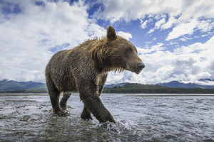 Wide Angle View Of Coastal Brown Bear (Ursus Arctos) Walking Along Salmon Spawning