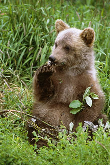 Young Brown Bear Cub Sitting In Grassy Meadow Sc Summer Alaska Wildlife Conservation