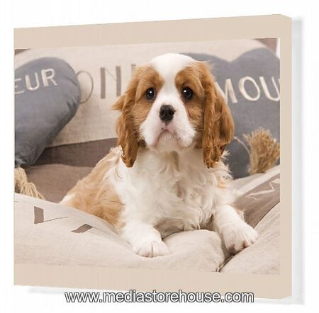 Canvas Print Of La 8210 Dog Cavalier King Charles Spaniel